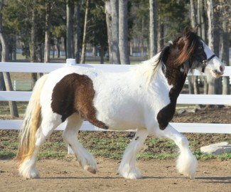 Lucy of Lexlin, 2008 Gypsy Vanner Horse mare