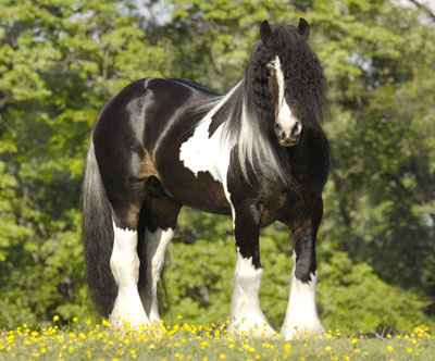 Charlie, imported Gypsy Vanner Horse stallion
