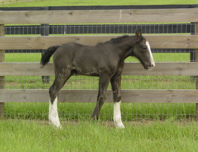 IHF Miss Clare, 2011 Gypsy Vanner Horse filly