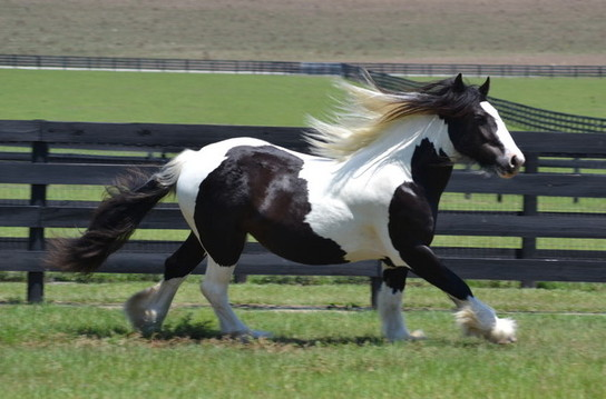 Inver Hill's Miss Emerald, 2011 Gypsy Vanner Horse filly
