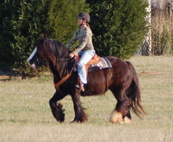 Moira, 2004 Gypsy Vanner Horse mare
