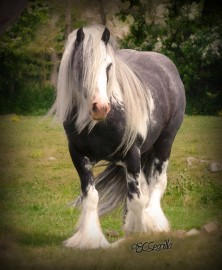 Nat West Bank, imported Gypsy Vanner Horse stallion