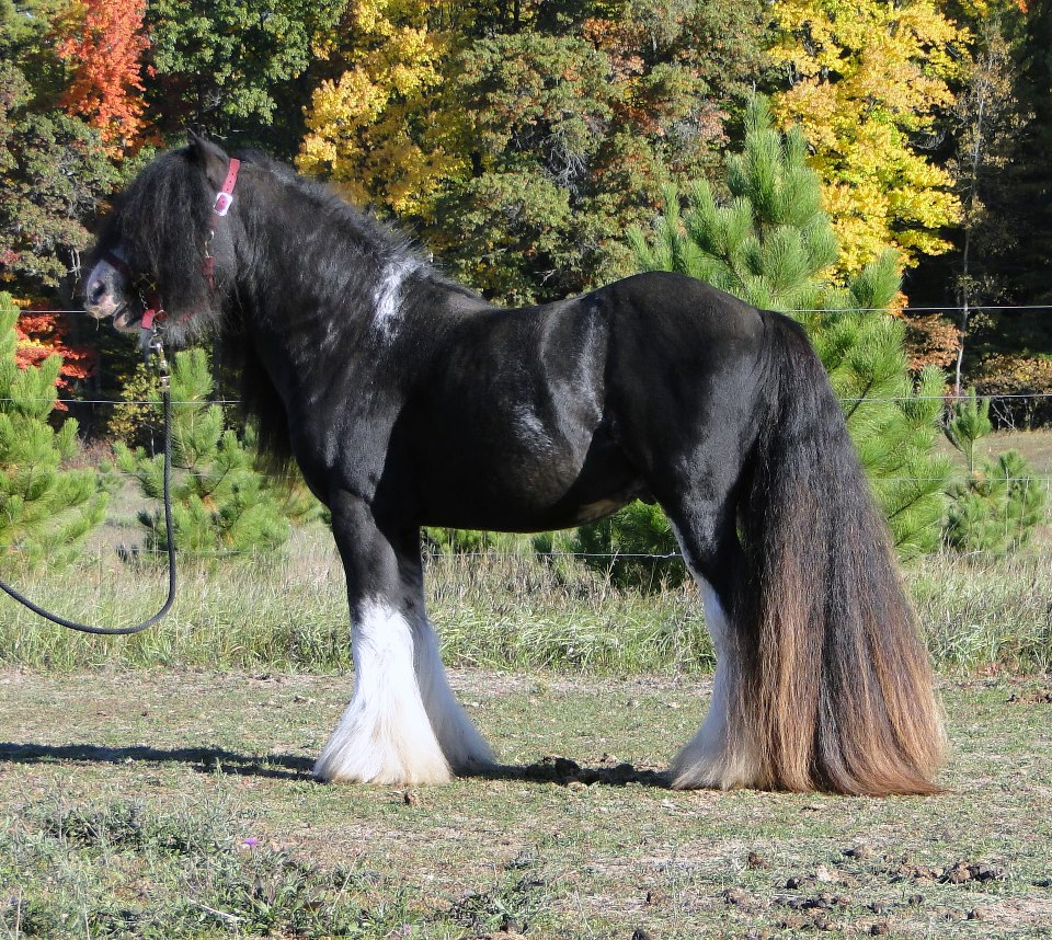 Nighthawk, 2008 Gypsy Vanner Horse stallion