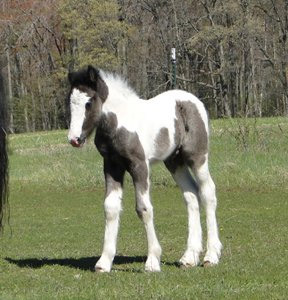 Feathered Gold Nola, 2010 Gypsy Vanner Horse filly