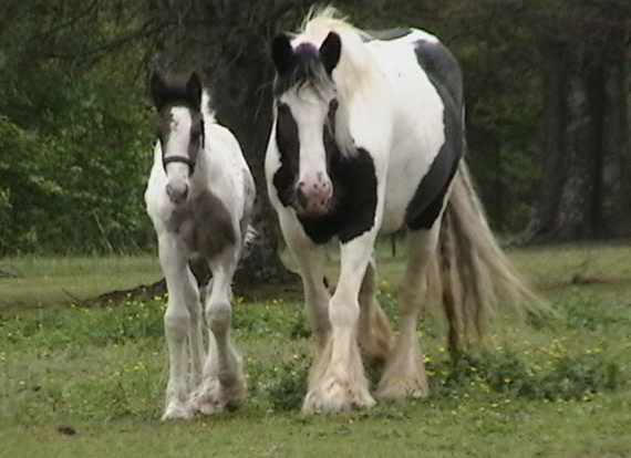 Oz Colt, 2009 Gypsy Vanner Horse foal