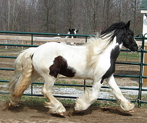 N'Co The Page Turner, 2006 Gypsy Vanner Horse mare