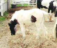 Pan, 2004 Gypsy Vanner Horse colt