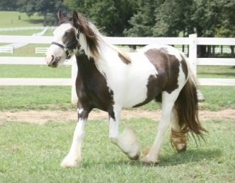 Patches, 2009 imported Gypsy Vanner Horse mare