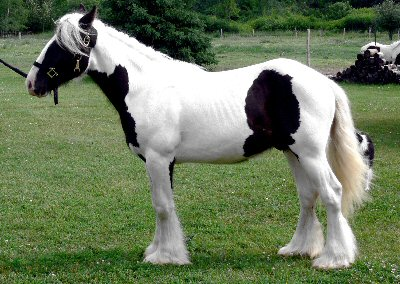 Piaras, 2005 imported Gypsy Vanner Horse stallion