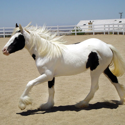 Gold Rush's Pixie Rose, 2008 Gypsy Vanner Horse filly