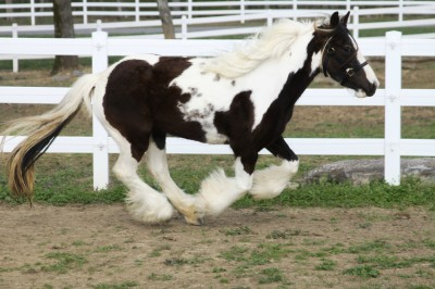 Queenie of Lexlin, 2008 Gypsy Vanner Horse mare
