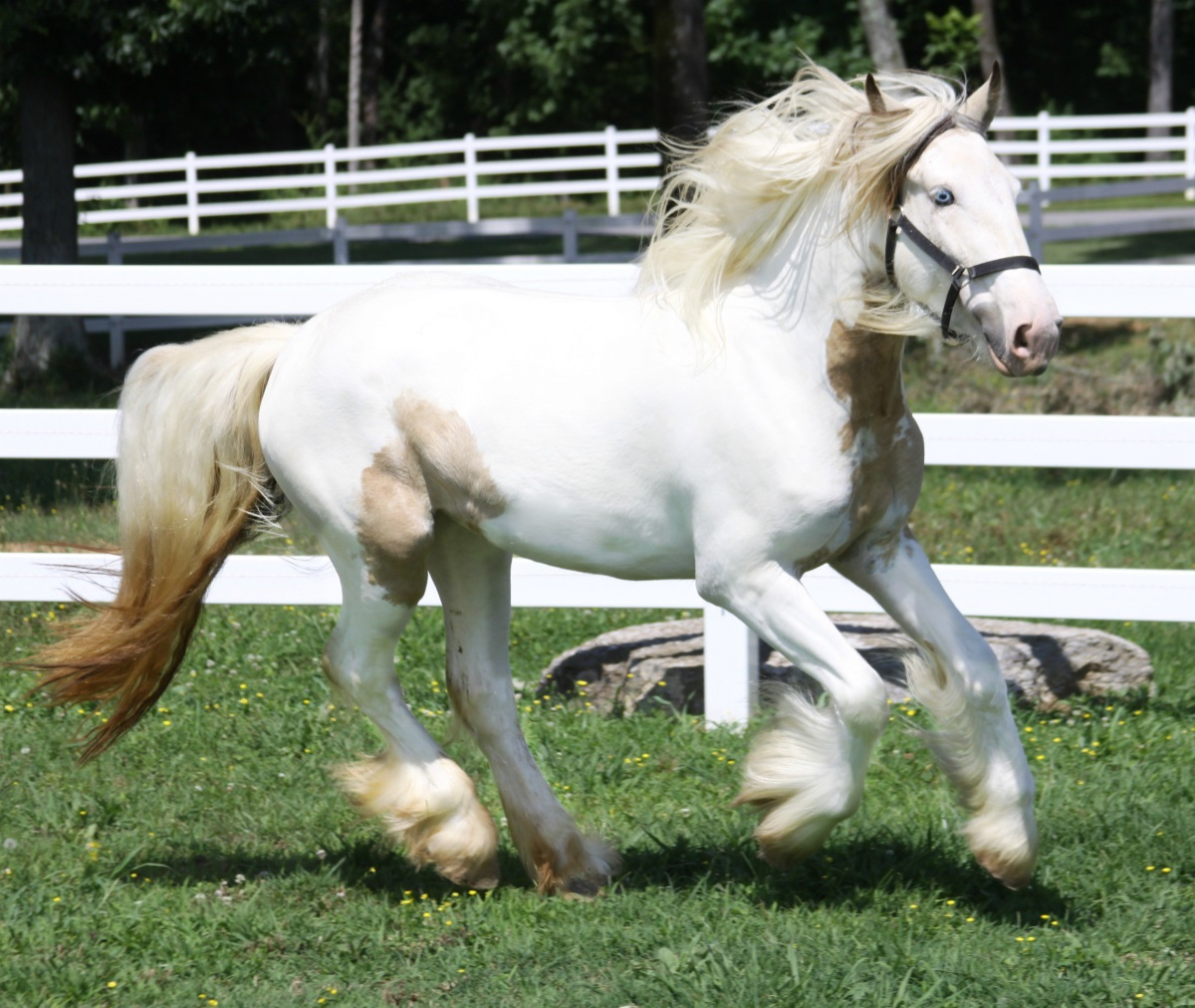 Chloe of Lexlin, 2009 Gypsy Vanner Horse mare
