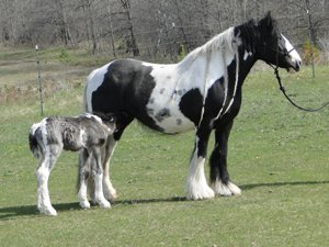 Rhiannon, imported Gypsy Vanner Horse mare