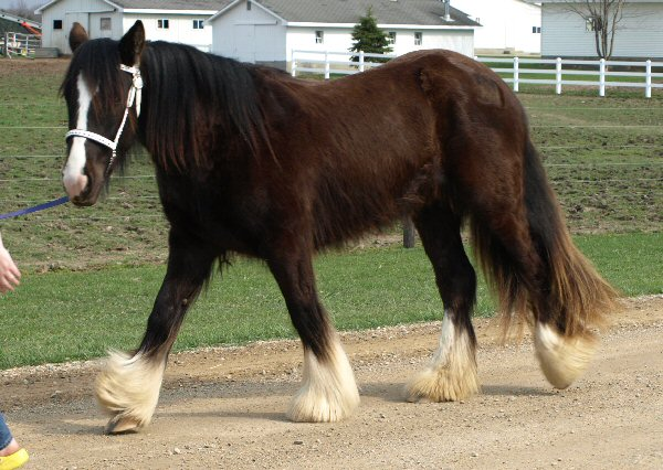 WW Roisin Dubh, 2006 Gypsy Vanner Horse filly