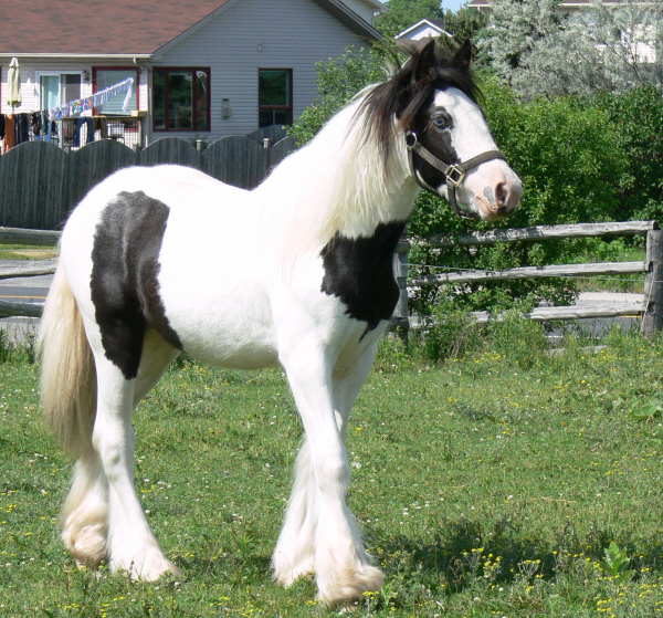 SRS Royal Flame, 2011 Gypsy Vanner Horse filly
