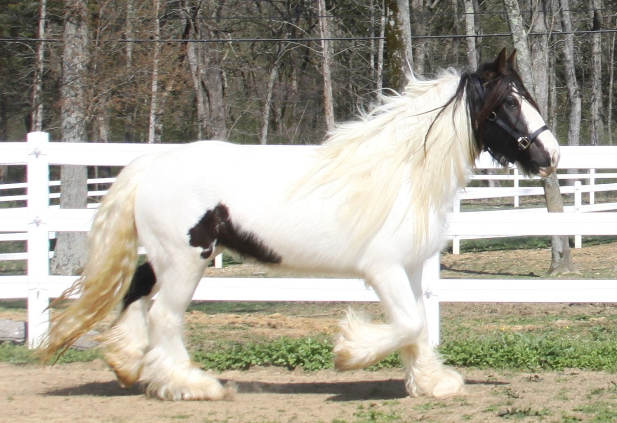 Ruby of Lexlin, 2008 imported Gypsy Vanner Horse mare