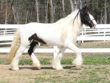 Ruby, 2008 Gypsy Vanner Horse mare