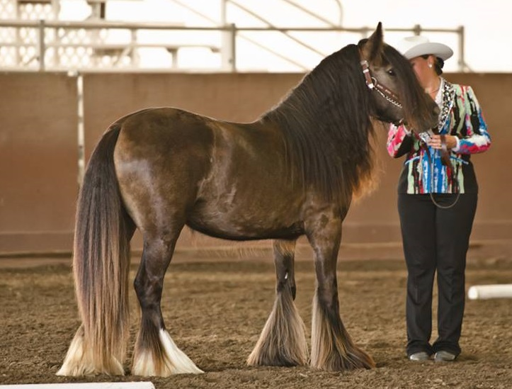 SRS Beverly, 2012 Gypsy Vanner Horse filly