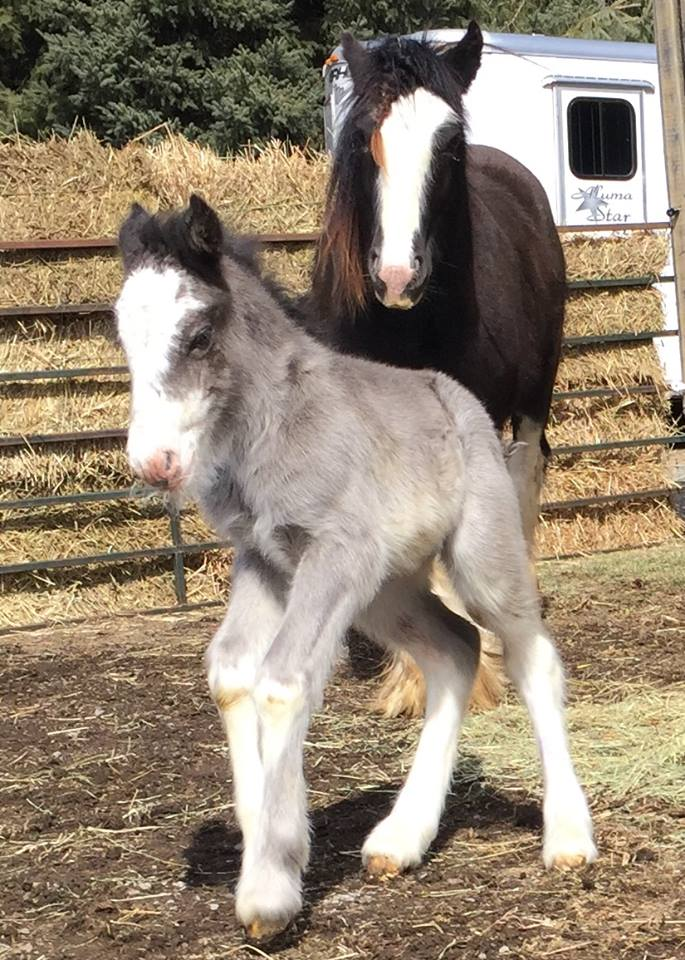 SRS Simply My Way, 2016 Gypsy Vanner Horse filly