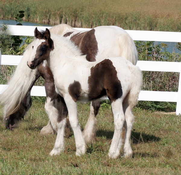 Shannon colt, 2009 Gypsy Vanner Horse foal