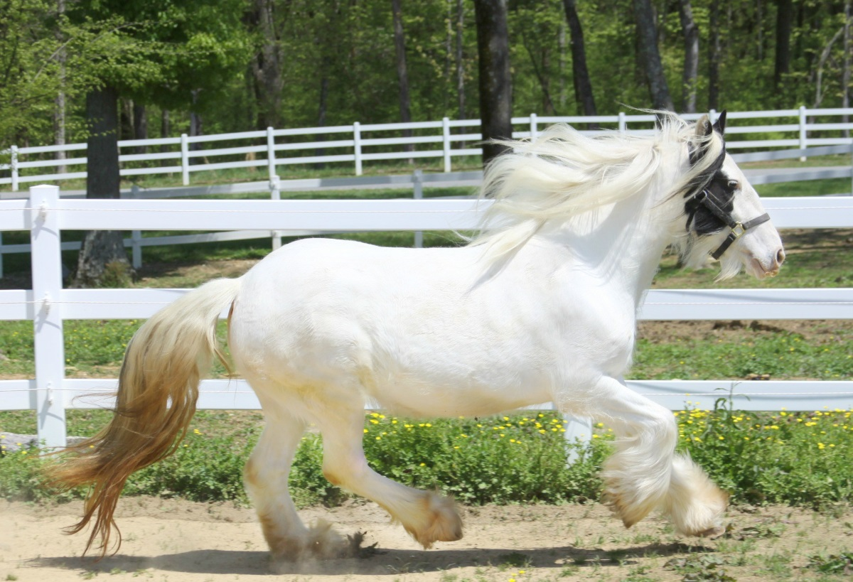 Snowdrop of Lexlin, 2008 imported Gypsy Vanner Horse mare