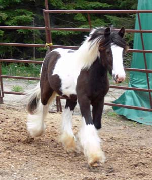 SRS After The Storm, 2009 Gypsy Vanner Horse colt