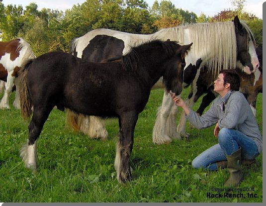 RRTF Storm, 2006 imported Gypsy Vanner Horse colt