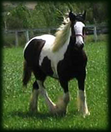 Cici's Princess Stowe, 2006 Gypsy Vanner Horse filly
