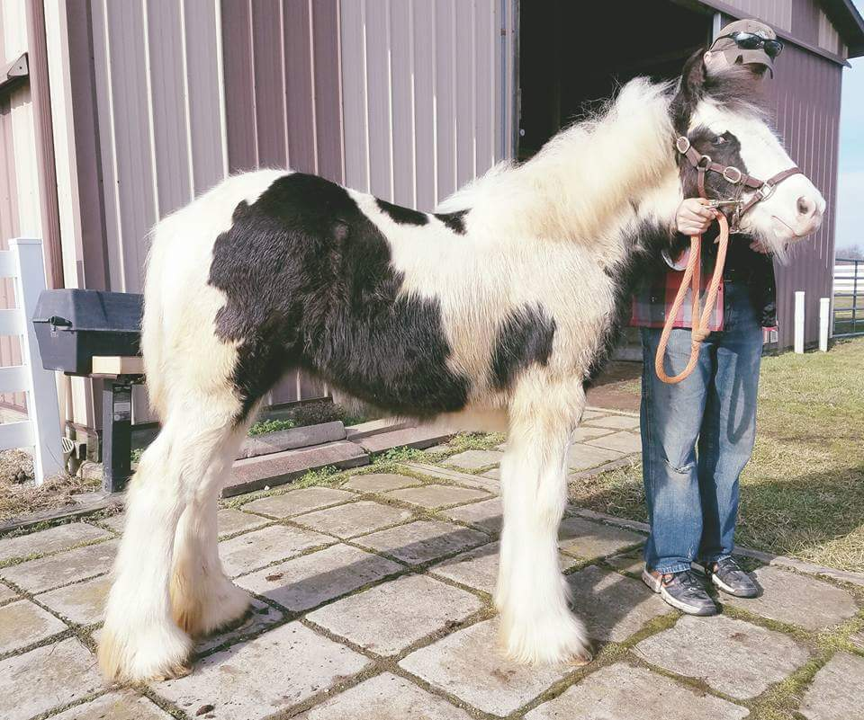 Sugar Hill Ailish West, 2016 Gypsy Vanner Horse filly