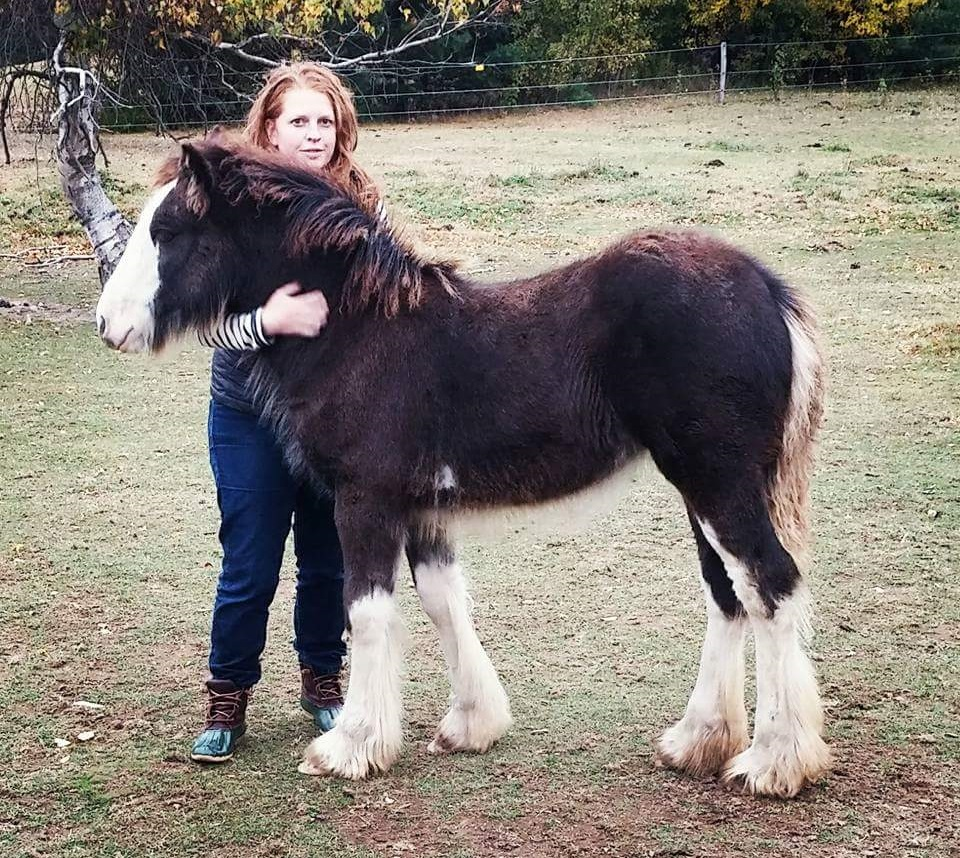 Lexlin's Sweet as Sugar Hill, 2015 Gypsy Vanner Horse filly