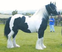 Tansy, imported Gypsy Vanner Horse mare