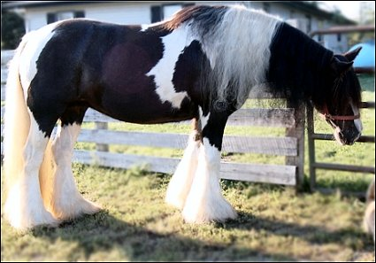 Teasel, imported Gypsy Vanner Horse mare