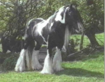 The Road Sweeper UK, Gypsy Vanner Horse stallion