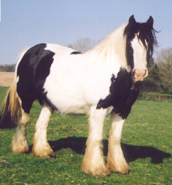 The Sweeper Mare, Gypsy Vanner Horse mare in the UK