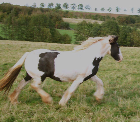 Tilly, Gypsy Vanner Horse mare in Germany