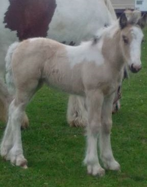 RGR Tootsie, 2016 Gypsy Vanner Horse filly