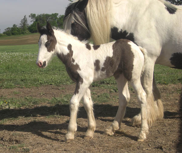True Blue, 2010 Gypsy Vanner Horse filly