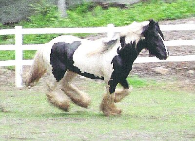Valour, imported Gypsy Vanner Horse stallion