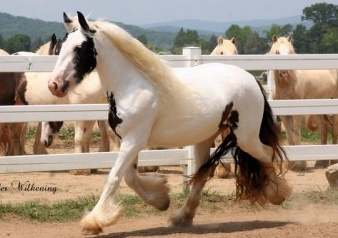 Velvet, 2008 imported Gypsy Vanner Horse filly