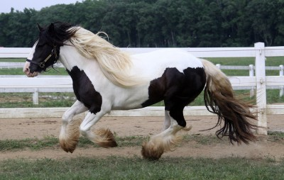 Victoria, 2008 imported Gypsy Vanner Horse mare