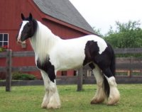 Windermere, imported Gypsy Vanner Horse mare
