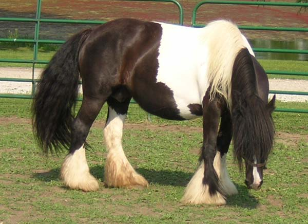 Arctic Winter, imported Gypsy Vanner Horse mare