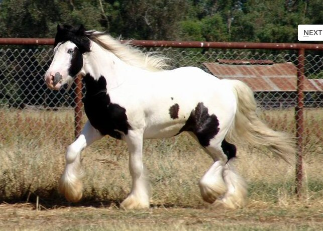 Lion King's Wisdom, 2004 imported Gypsy Vanner Horse stallion
