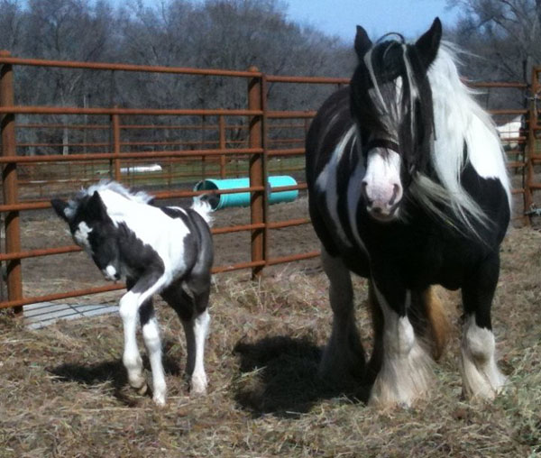 Gypsy Park Wookie, 2010 Gypsy Vanner Horse colt