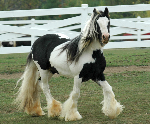 Mount Christie DJ Ace, imported Gypsy Vanner Horse stallion