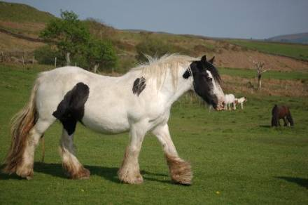 The Banks Mare, Gypsy Vanner Horse mare