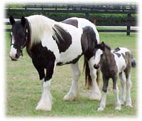 Bat & Kuchi, Gypsy Vanner Horse mare & filly