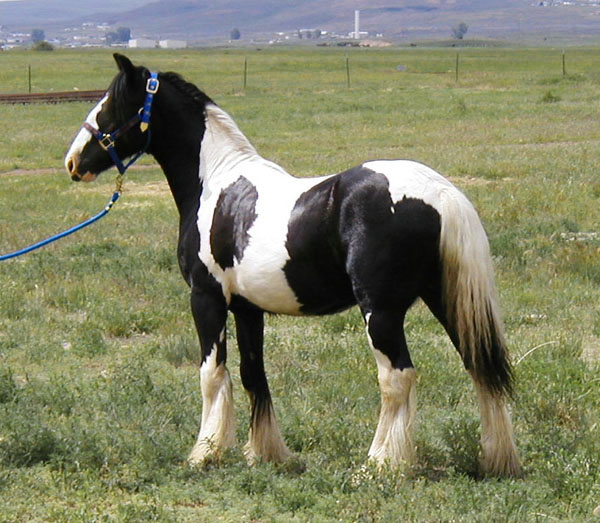 Tedd E Bear, imported Gypsy Vanner Horse stallion