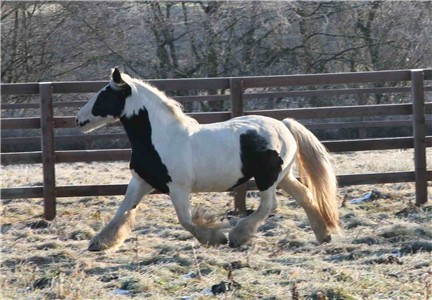 Caprial, imported Gypsy Vanner Horse mare