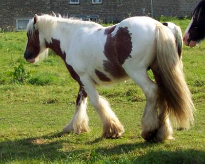 Chester, Gypsy Vanner Horse stallion in the UK